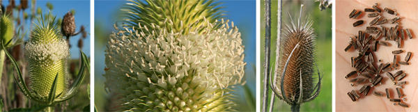 Teasel blooms in a band around the inflorescence (L), and the stiff persistent bracts give a pincushion-like appearance to the floral spike after flowering (RC). The plants produce many seeds (R).
