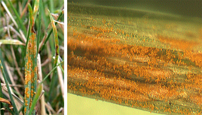 The orange color is many rust pustules and their powdery spores.