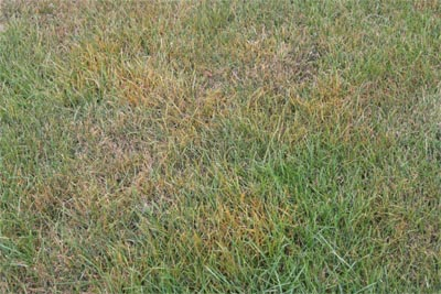 An area of turf infested with rust has a yellowish appearance.