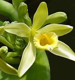 V. planifolia flower.