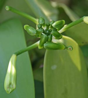 V. planifolia flower buds.