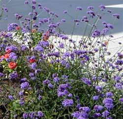 Verbena bonairiensis can reseed prolifically.