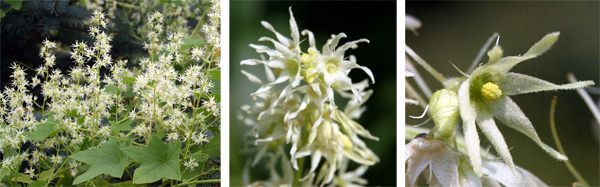 The male flowers are produced in large racemes (L), with each flower having 6 long, thin petals (R).