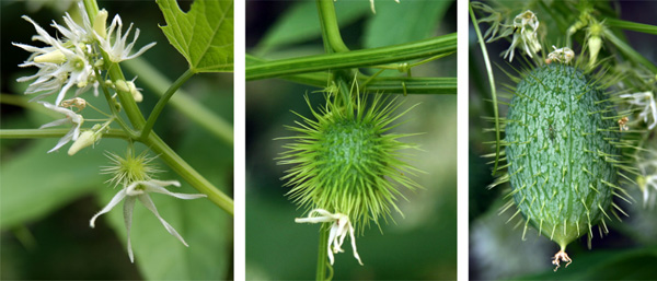 Female flowers have a prickly ovary beneath the petals, which quickly devlops into the spiny fruit.