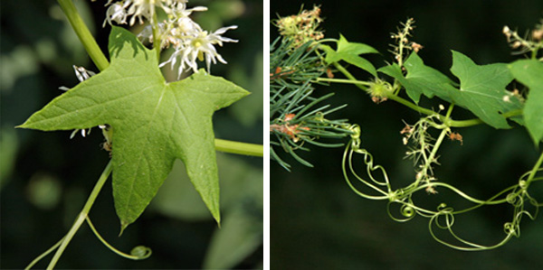The palmate leaves are deeply lobed (L). Curling tendrils arise from leaf axils (R).