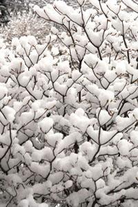 Snow on azalea