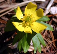 Winter aconite has bright yellow flowers.