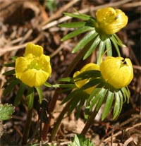 Flowers appear very early in the spring.