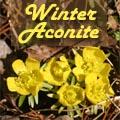 Winter Aconite, Eranthis hyemalis Title Image