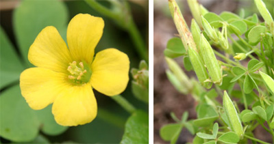 Common yellow woodsorrel has yellow flowers with five petals, which are followed by erect seed pods.