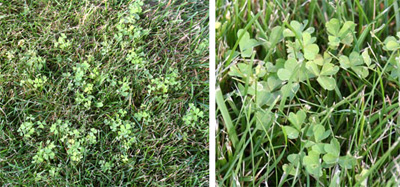 Common yellow woodsorrel in a lawn.