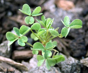 A common yellow woodsorrel seedling.