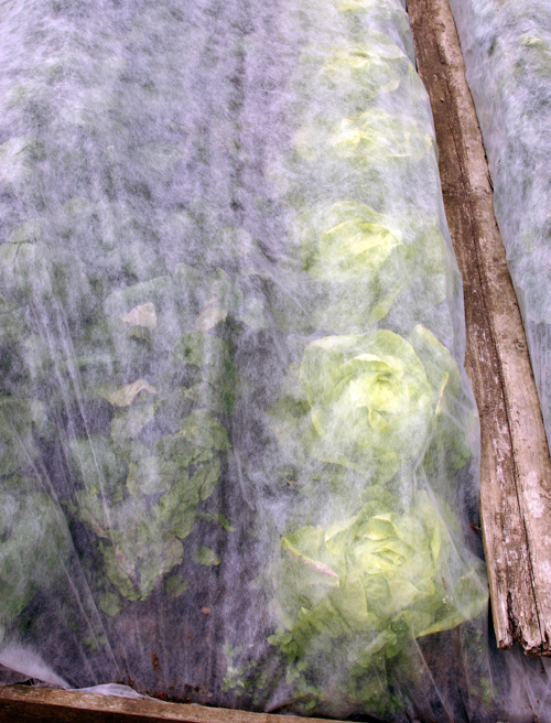 Floating row cover protects lettuce plants.