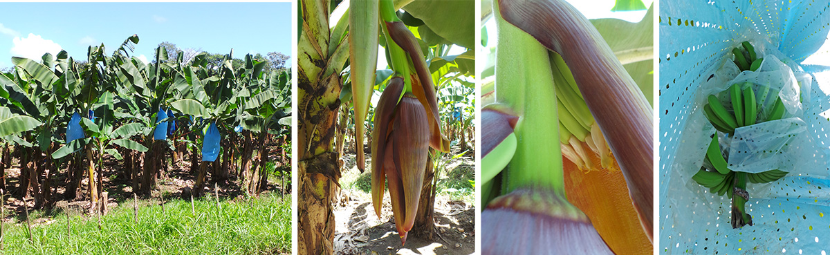 Banana plantation (L), inflorescence (LC), flowers (RC), and bagged fruit (R).