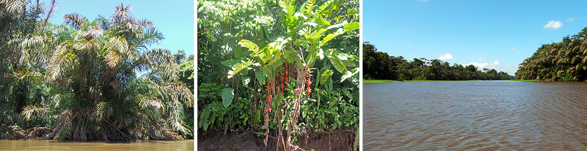Raffia palm (L), blooming Heliconia pogonantha (C), and the Tortuguero River.