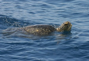 A green sea turtle surfaces in the ocean.