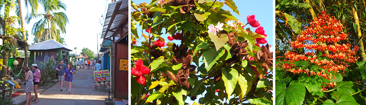 The village of Tortuguero (L); Bixa orellana (achiote or annato) with pink flowers, red seed pods and dried brown seed pods (C); and flowering Clerodendrum paniculata (R).