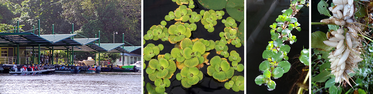 The Park Office (L), water lettuce (LC), and an unknown floating plant (RC) with white bladders to keep it afloat (R).