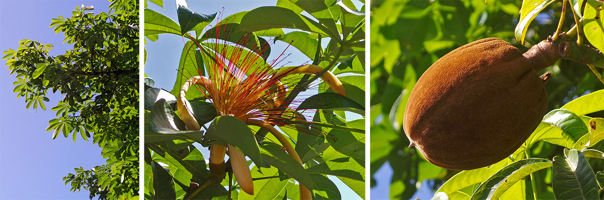 The foliage of Pachira aquatic (L), flower (C), and fruit (R).