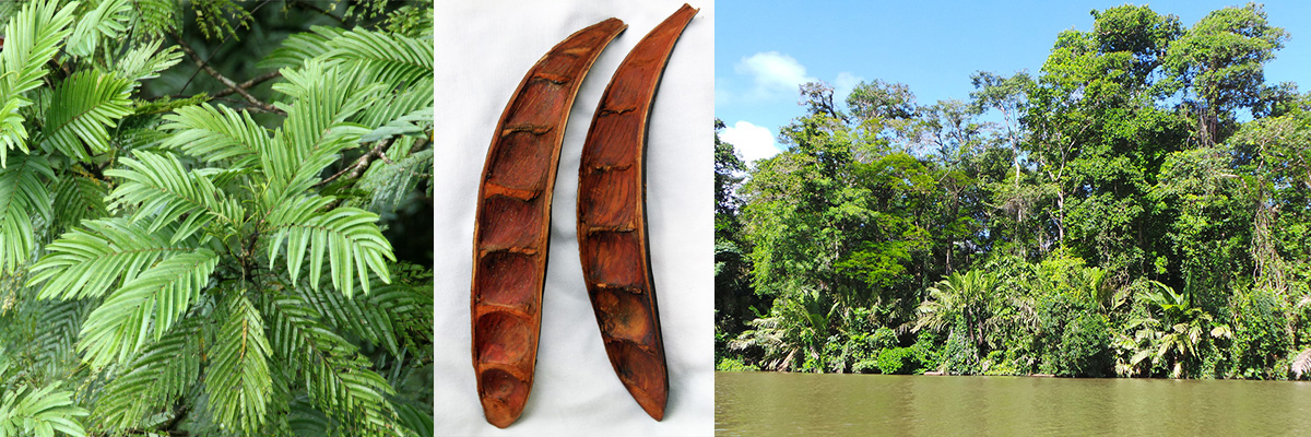 The leaves (L) and seed pods of Pentaclethra macroloba (C); this tree and raffia palms are some of the most common trees in Tortuguero National Park (R).