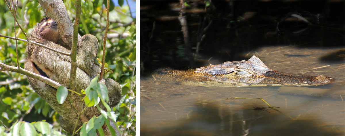 Three-toed sloth (L) and spectacled caiman (R).