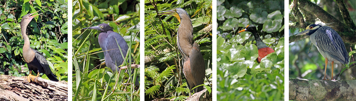 Female anhinga (L), little blue heron (LC), bare-throated tiger heron (C), northern jacana (RC) and yellow-crowned night heron (R).