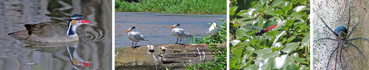 Sungrebe (L), royal terns (LC), colorful dragonfly (RC), and wolf spider with egg case (R).