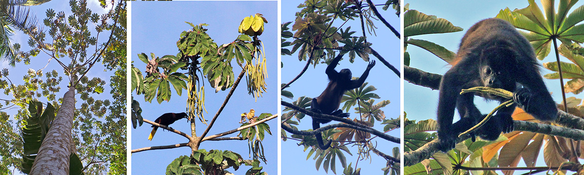 Looking up a cecropia tree (L), oropendola feeding on hanging cecropia fruits (LC), howler monkey reaching for cecropia fruit (RC), and eating the long fruits (R).