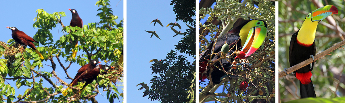 Montezuma oropendolas constructing nests (L), green macaws flying overhead (LC), keel-billed toucan eating palm fruit (RC) and sitting in a tree (R).