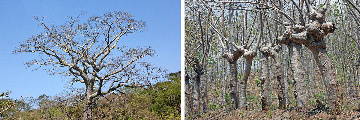 A large, leafless rain tree, Albizia saman (L) and a living fence of Bursera simaruba (R).