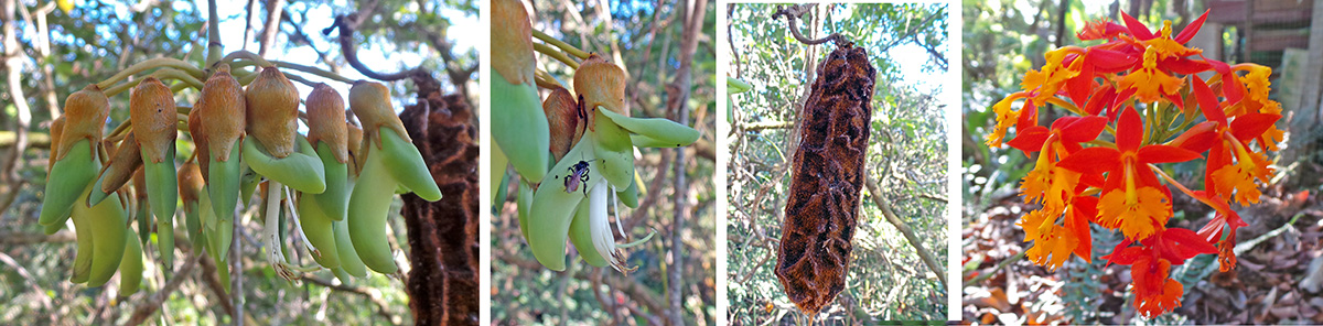 Native vine, Mucuna sp. or chandelier vine in the bean family, with green, bat-pollinated flowers (L and LC) and brown seed pods (RC) hanging on long, rope-like stems. Native terrestrial orchid Epidendrum radicans (R).