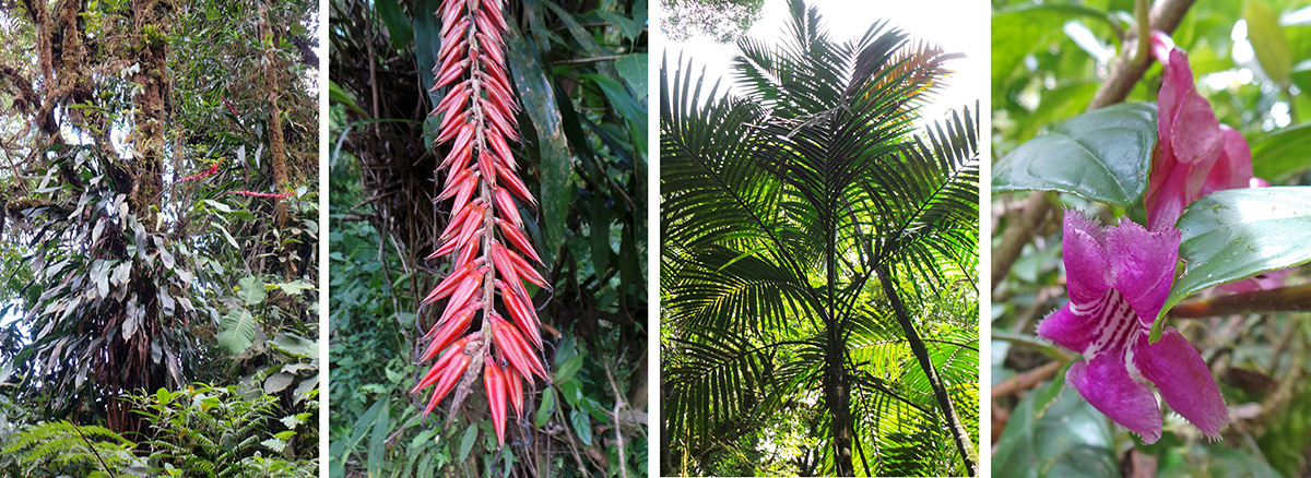Blooming bromeliad Pitcairnia brittoniana on a tree (L) and inflorescence (LC), palm Prestoea sp. (RC), pink flower of Drymonia conchocalyx.