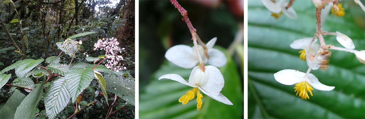 Begonia cooperi plant (L), female flower (C), male flower (R).