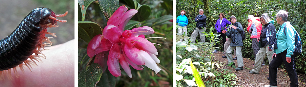 Millipede (LC), flowers of Cavendishia sp. (L), the group on the trail (R).