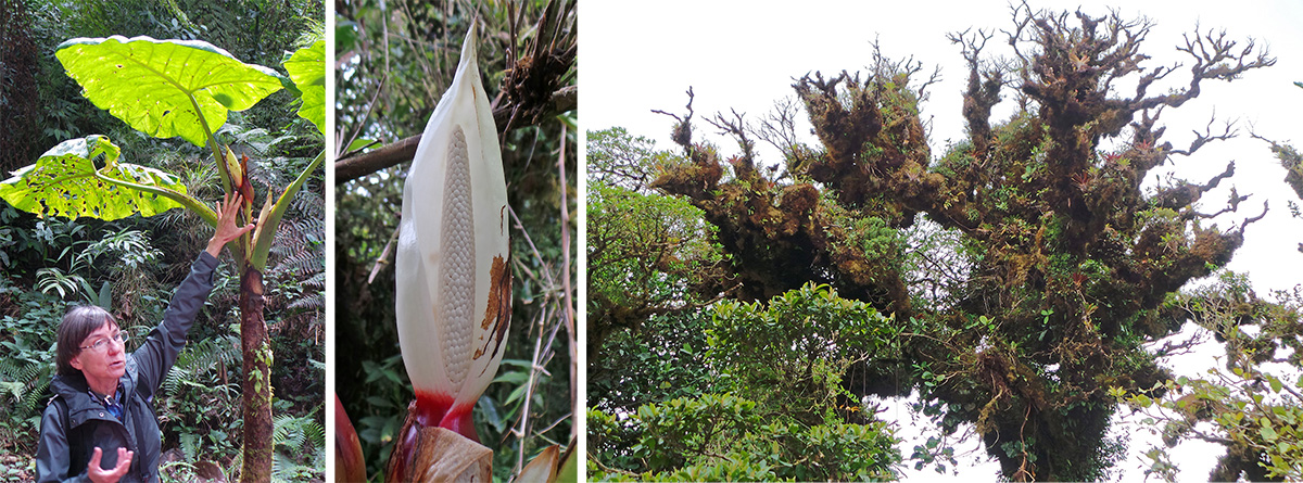 Willow points to the inflorescence of a Zanthosoma (L), the flower closeup (C) and moss and epiphyte covered tree (R).