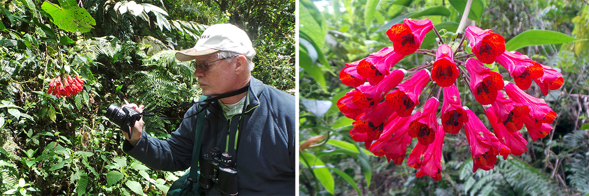 Jim taking a picture (L) of Bomarea caldasii (R).