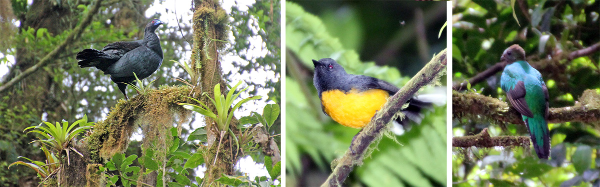 Black guan (L), redstart (C) and female resplendent quetzal (R).
