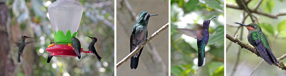 Hummingbirds flock to the feeders (L), green crowned brilliant (LC), violet sabrewing in flight (RC), juvenile black-throated mountain gem (R).