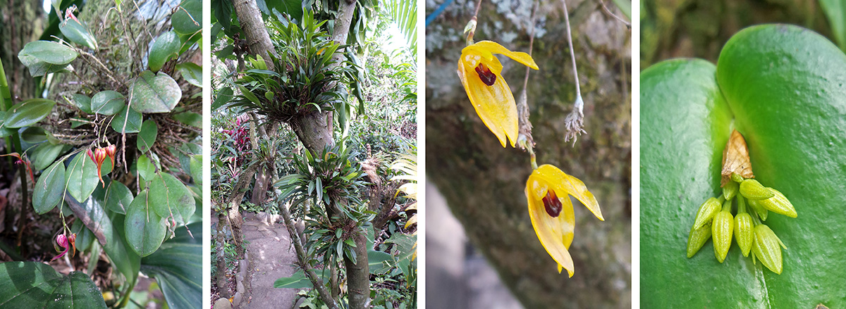 Leptanthes horrida (L), orchids growing on the small trees (LC), Speelinia leterina flowers (RC), Pleurothalis phyllocordia (R).