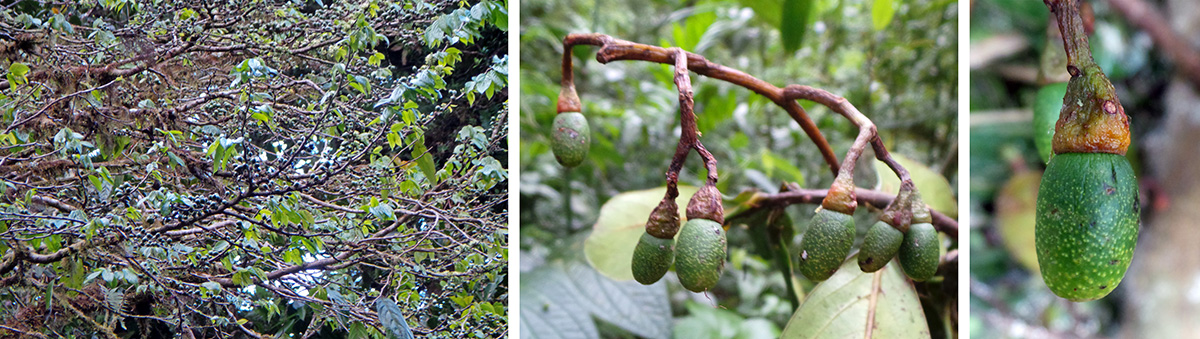 "Aguacatillo (""little avocado"", Ocotea sp. ) tree (L), and fruits (C and R)."