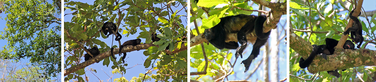 Howler monkeys in a tree (L), a group of monkeys (LC), hanging out on a branch (RC), and mom and baby (R).
