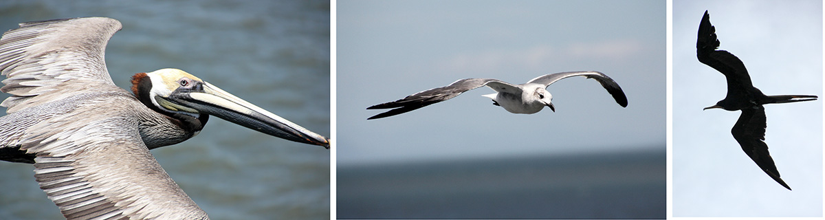 Brown pelican (L), laughing gull (C), magnificent frigatebird (R).
