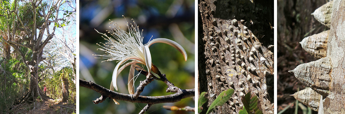 Spiny cedar (Bombacopsis quinatum) tree (L), flower (LC), tree trunk (RC) and spines (R).