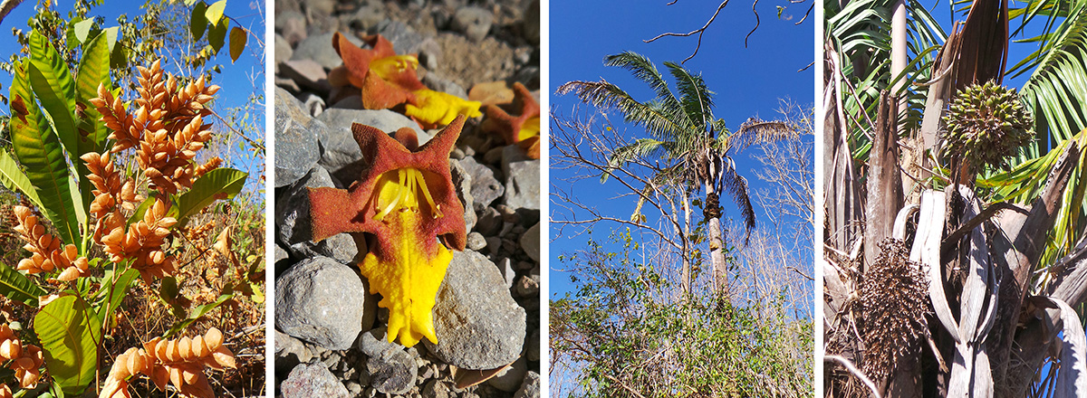 Brown bracts of Flemingia strobilifera (L), unknown tree flower (LC), palm Scheelea rostrata (RC) and its fruits (R).