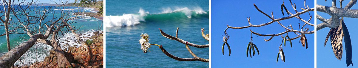 Old plumeria trunks sticking out over cliff above the ocean (L), plumeria flowers (LC), plumeria fruits (RC), and seeds in opened fruit (R).