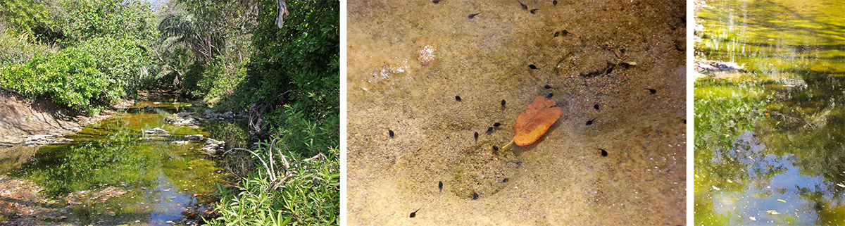 Stream (L) with tadpoles in the shallow water (C) and reflections of the vegetation (R).