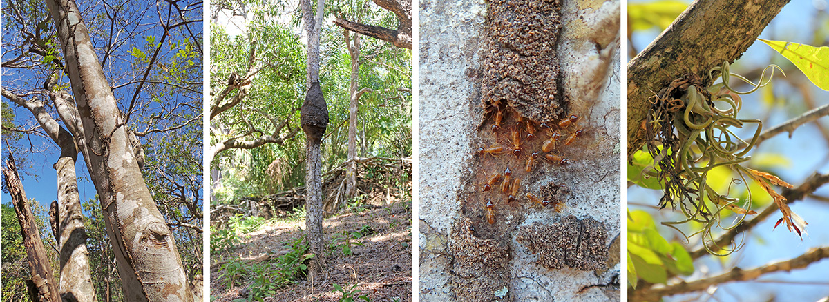 Termite trails go up a tall tree (L), black termite nest in small tree (LC), termites exposed in their covered trail (RC); bromeliad Tillandsia caput-medusa in a calabash tree (R).