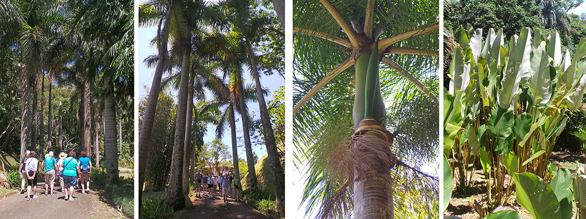 The group heads down the road (L) under the Cuban royal palms (LC); royal palm crown and flower bud (RC); Calathea lutea (R).