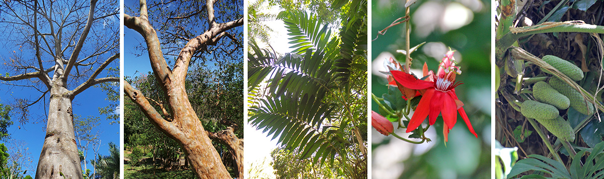 Looking up the Ceiba pentandra tree (L), guava (Psidium guajava) (LC), Chamaedorea costaricana (C), Passiflora coccinea (RC) and Monstera deliciosa fruit (R).