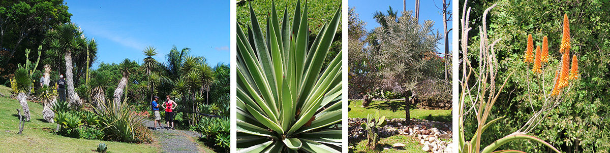 e succulent garden (L), an agave (LC), Euphorbia stenoclada from Madagascar (RC), African aloe in bloom (R).